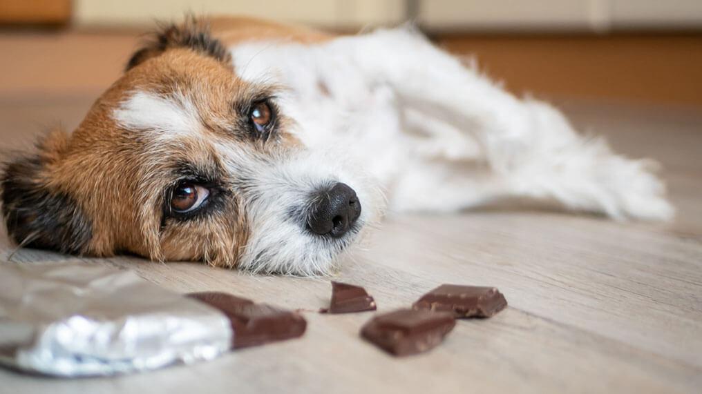 Vad händer när en hund äter choklad